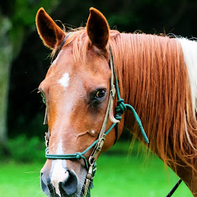 Horse click by Pablo Barilari - Animals Horses ( animals, horses, horse )