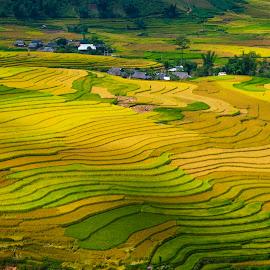 Harvest time by Amateur Pic - Landscapes Prairies, Meadows & Fields ( rice, vietnam, yen bai, amateurpic, teraced )