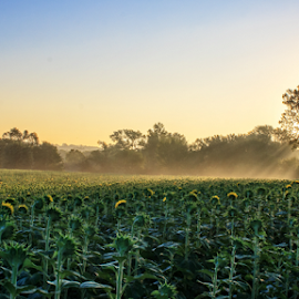 Sun Worshpers by Kevin Anderson - Landscapes Prairies, Meadows & Fields ( peaceful, sunflowers, green, waiting, glory, yellow, worship, sun, rays, crop, field, foggy, fog, serene, sunrise, light )