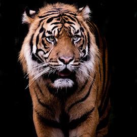 Sumatran Tiger by David Whelan - Animals Lions, Tigers & Big Cats ( sumatran tiger; )