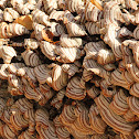False turkeytail