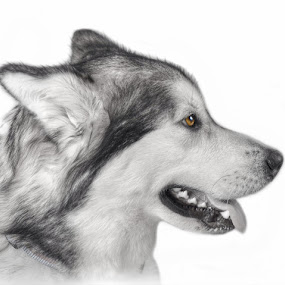 Alaskan Malamute by Lisa Kirkwood - Animals - Dogs Portraits ( dog alaskan malamute,  )