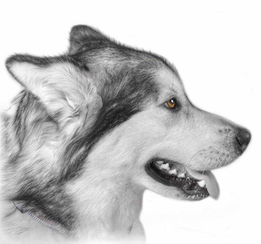 Alaskan Malamute by Lisa Kirkwood - Animals - Dogs Portraits ( dog alaskan malamute,  )