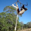 lemurien Propitheque de verraux