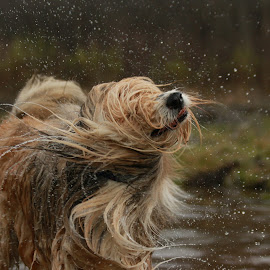 Splish Splash by Jacqui Sjonger - Animals - Dogs Playing ( water, dogs, pet, action, dog portrait, fun, dog, friend )