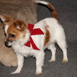 Christmas Puppy~Palmer~ by Leah Danker - Animals - Dogs Puppies ( palmer, cute puppy, christmas puppy, puppy, puppy portrait,  )