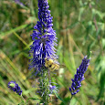 Pollinator bioblitz - Metro Vancouver