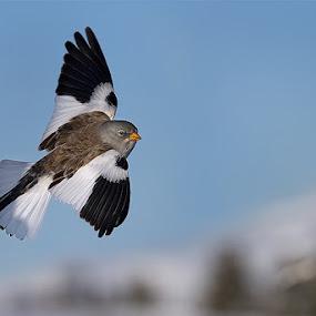 Fringuello alpino by Rigotti Jacopo - Animals Birds