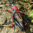 Koppie Foam Grasshopper