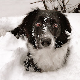 Dog & Snow by Kristján Karlsson - Animals - Dogs Portraits