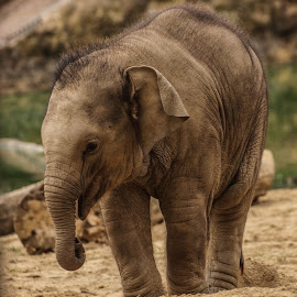 Young Elephant by Garry Chisholm - Animals Other Mammals ( trunk, nature, elephant, asia, wildlife, chisholm, garry, mammal )