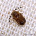 Anobiid Wood Boring Beetle