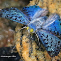 Blue Metalmark Butterfly