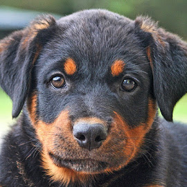 Look Me in the Eye by Raymond Pauly - Animals - Dogs Puppies ( orange, animal eyes, puppy, brown, dog, cute, black, portrait, rottweiler )