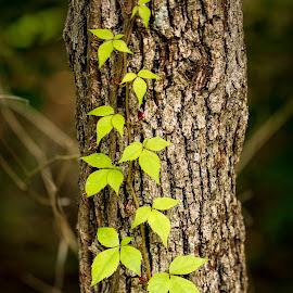 Moving upward by Nicole Nichols - Nature Up Close Trees & Bushes ( tree, leaf, leaves, tree trunk )