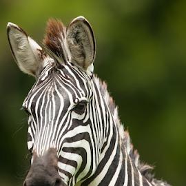 zebra by Cristobal Garciaferro Rubio - Animals Horses ( black and white, strips, strip, zebra, rustic )