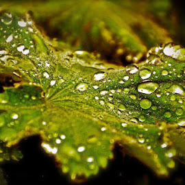 Wet Leaf by Adria Bannocks - Nature Up Close Leaves & Grasses ( plant, rain droplets, macro, tree, green, wet, leaf, rain water, close up )
