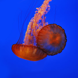 Jelly fish by Elaiyaraja Kasinathan - Animals Fish ( jellyfish )