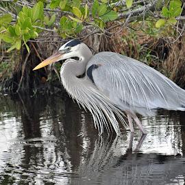 Hunting by Jim Zabroski - Animals Birds ( heron merritt island refuge )