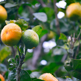 Ripening by Alex Fylypovych - Food & Drink Fruits & Vegetables ( fruit, tree, outdoors, fruits, costa rica, ripe, healthy, lime, fruit and vegetable, limone, lemon )