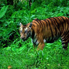 TIGER HUNTING by Abhinav Gupta - Animals Lions, Tigers & Big Cats ( zoo, tiger, grass, food, hungry )