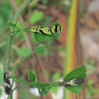 Top: very darkly marked last-instar Lime Butterfly