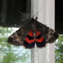 Ribbed Underwing Moth