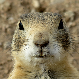 Prairie Dog by Dennis Robertson - Animals Other Mammals ( prairie dog )