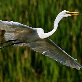 Egret flight by Dan Ferrin - Animals Birds ( bird, great egrets, nature, wildlife, birds, egret, bird in flight )