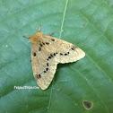 Nygmiini moth