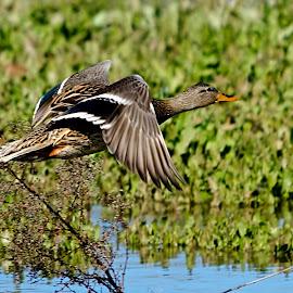 Female Mallard in flight by Steve Forbes - Animals Birds ( bird, fly, flight )