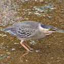 Green-backed heron or Striated heron
