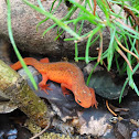 Red-spotted Newt (Red Eft)