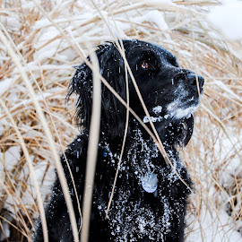 Made for the snow by Suzanne Stonehouse Brummel - Animals - Dogs Portraits ( brown eyes, black dog, winter, snow, snowy, labrador, natural, golden retriever )