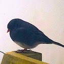 Dark-eyed Junco (slate colored)