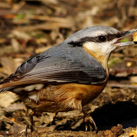 nuthatch & the nut by Zoltan Szabo - Animals Birds
