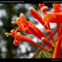 Flame vine / Trompetero naranja