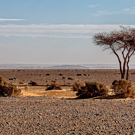 The Lone Tree by Jay Gould - Landscapes Deserts ( blue sky, desert, tree, expansive desert, the black desert, morocco )
