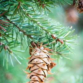 Pine Cone by Timothy Miller - Nature Up Close Trees & Bushes ( macro, pine cone, nature, tree, nature up close, close up )