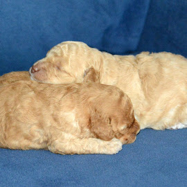 by John Swain - Animals - Dogs Puppies ( dogs puppies sleeping,  )