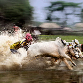 Moichada 1 by Rajkumar Bose - News & Events Sports ( cattle race, canon 5d mark iii, moichada, sports, action, india,  )