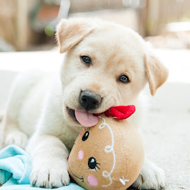 Gingerbread Puppy by Karen Clemente - Animals - Dogs Puppies ( cute puppy, playful, adorable, puppy, labrador,  )