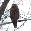 Red-shouldered Hawk    immature