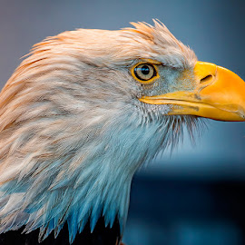 Eagle With an Attitude by Bill Tiepelman - Animals Birds ( bird, eagle, details, beak, bald eagle, feathers )