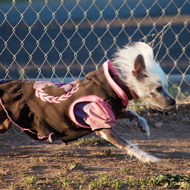 Warming Up by Leslie Nu - Animals - Dogs Running ( fence, hairless, clothes, dolce, chinese crested, dog )