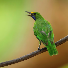 Golden Fronted Leaf bird by Kuppusamy Ramesh - Animals Birds