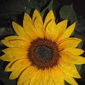 Sunflower by Peggy LaFlesh - Flowers Flower Gardens ( sunflower, yellow, rain, flower )