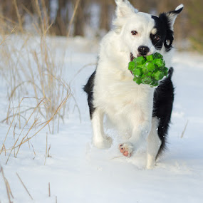 Snow Ball by Christy Borders - Animals - Dogs Playing ( shepherd, winter, snow, dog, running, aussie )