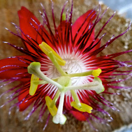 Passion flower by Debbie Varady Schlotfeldt - Novices Only Flowers & Plants
