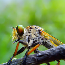 nagkring by Hendrata Yoga Surya - Instagram & Mobile Android ( serangga, robnerfly, insects, robber, robber fly )